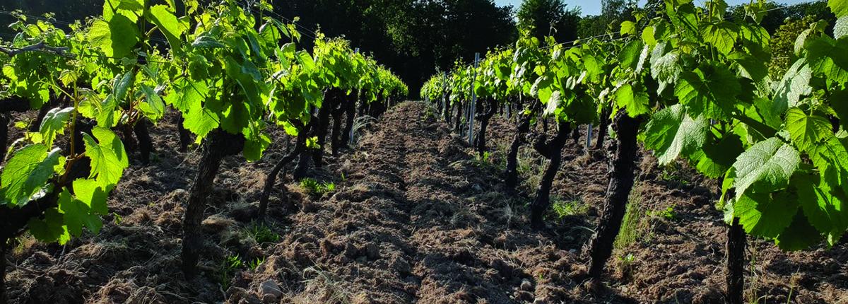Travail de la vigne - Domaine du Haut Bourg